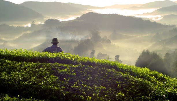 farmer-at-tea-plantation-in-malaysia-lille